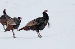 Wild Turkey (Laura Erickson) Tags: saxzimbog stlouiscounty wildturkey phasianidae birds galliformes species places minnesota meleagrisgallopavo