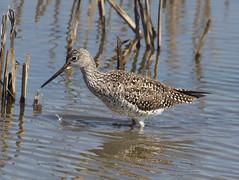 F_031719c (Eric C. Reuter) Tags: birds birding nature widlife nj forsythe nwr march 2019 refuge 031719