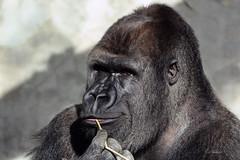 Gorilla NASIBU (K.Verhulst) Tags: silverback zilverrug gorilla ape mensaap nasibu blijdorp blijdorpzoo diergaardeblijdorp rotterdam apen monkeys