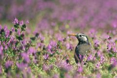 _DSC0335-Edit (shoji imamura) Tags: lamium amplexicaule bird flower spring tokyo machida japan henbit 東京 町田 春 多摩 野草 花 ホトケノザ 野鳥 ムクドリ sturnus cineraceus starling