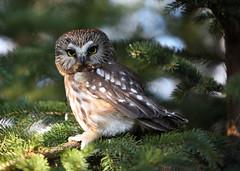 Northern Saw-whet Owl (Hanzy2012) Tags: nikon toronto ontario wildlife nature bird canada d750 80200mmf28dafs northernsawwhet owl aegoliusacadicus