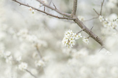 (CarolienCadoni..) Tags: sony ilca99m2 85mmf14za sal85f14z blossom white soft dreamy pastel tree spring nieuwbuinen drenthe netherlands