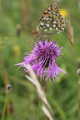 I saw this moment one day (raggi di sole) Tags: england hampshire nature darkgreenfritillary butterfly insect lepidoptera nymphalidae argynnisaglaja orange black green feeding wildflower purple