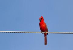 Singing Cardinal (John Kocijanski) Tags: cardinal red bird northerncardinal wildlife animal canon400mmf56 canon7d nature
