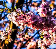 19-03-30 nah lirsch blüt rosa backlit kontr bok text _dsc1429 (ulrich kracke (many thanks for more than 1 Mill vi) Tags: blüterosa bokeh c6 kirsche nah