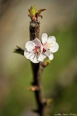 "Spring 2019 (Alex ""Sasha"" Chitnev) Tags: spring nikon d610 flower front yard color happy bokeh fine arts"