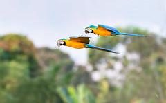 arrival (ciwi.photography) Tags: yellow ara macaw goldmacaw gelbbrustara vogel bird animal flying nature wildlife pantanal brasilien brasil