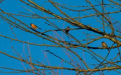 Bouvreuil pivoine (JeanJoachim) Tags: bouvreuilpivoine pyrrhulapyrrhula eurasianbullfinch passeriformes fringillidae oiseau bird vogel aves uccello fågel fugl pássaro バード lintu птица ptak gimpel dompfaff pentaxk5iis smcpentaxda300mmf4edifsdm