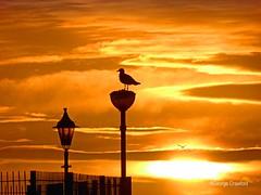 Irvine Sunset1 (g crawford) Tags: irvine sunset sundown yellow orange silhouette gull seagull bird seabird ayrshire northayrshire crawford potd pictureoftheday herald glasgowherald 181