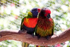 _MG_3522.jpg (Joe Fitzpatrick Photo) Tags: fauna birds butterflyworld