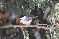 Black-capped Chickadee (Poecile atricapillus) (Gerald (Wayne) Prout) Tags: blackcappedchickadee poecileatricapillus animalia aves chordata passeriformes paridae poecile atricapillus mybackyard cityoftimmins mountjoytownship northeasternontario northernontario ontario canada prout geraldwayneprout canon canoneos60d eos 60d digital slr camera canonlensef70300mmf456isusm lens ef70300mmf456isusm photographed photography birds perchingbirds songbirds blackcapped chickadee chickadees wildlife nature easternwhitecedar timmins northeastern northern backyard melrosegardens