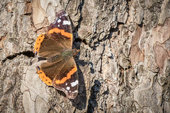 Tortoiseshell Butterfly out In the New Forest Jan 2019 (chrisellis211) Tags: butterfly sun newforest animal insect fly nature england wildlife