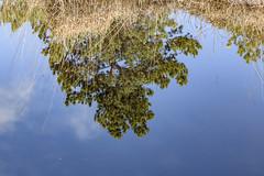 Arne 27-02-2015 34 (Matt_Rayner) Tags: arne trees reflection