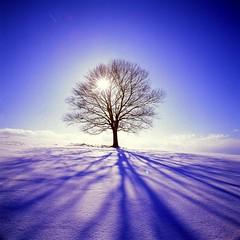 19990205_IMG_1005-trm-mod (NAMARA EXPRESS) Tags: landscape view form style tree plant maple snow sun shine blue white shadow winter hill silhouette backlight daytime fine outdoor color tokoro kitami hokkaido japan film fujifilm velvia rvp hasselblad 903swc carlzeiss biogon 38mm f45 canon canoscan 9000f scanner scan namaraexp