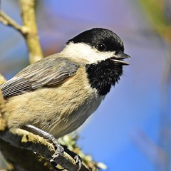 Sing me a song (dina j) Tags: floridawildlife floridabirds florida wildlife bird songbird chickadee carolinachickadee nature outdoors tree animal littlebird chesnutpark pinellascounty nikond7200 nikon