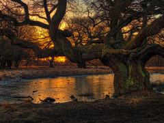Old tree in Dyrehaven in sunrise (ibjfoto) Tags: danmark denmark dyrehaven forest ibjensen ibjfoto natur sealand sjælland woodland skov solopgang sunrise trees træer