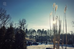 susuki in winter (Ola 竜) Tags: japanesegrass susuki bluesky sunshine winter snow cars plants bushes shrubs trees branches twigs sunflare lensflare sunlight sunny sun silvergrass chinesegrass backlight nature cold frosty dryreeds drygrass snowcover