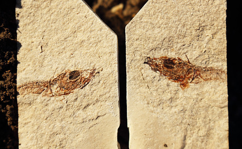 Oligocene fish, probably Glossanodon musceli
