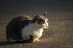 Spooky in the Sun (Mr. Low Notes - Klassicwerk Photo) Tags: sl1 rebelsl1 cat feline kitty sun portrait pet
