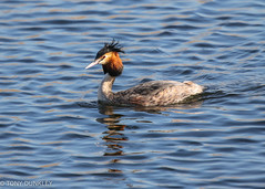 Great crested grebe (cricketlover18) Tags: birds hamwall rspb somersetlevels grebe