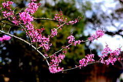 Chinese Redbud (Noel C. Hankamer) Tags: chineseredbud cersischinensis shrub flowers bud pink bokeh branch tree cercis nature spring bloom botany blossom beauty flora chinese petal tropical colorful bush floral blooming fabaceae botanical