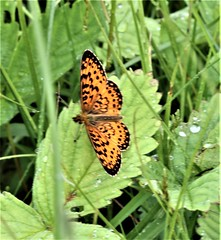 Silver-bordered Fritillary (Boloria selene Denis & Schiffermüller) 06-10-2016 Owl Road, St. Louis County, MN 2 (Birder20714) Tags: insects minnesota butterflies lepidoptera nymphalidae