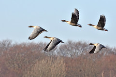 Pink footed geese (42jph) Tags: holywell pond uk england northumberland sigma 150500 nikon d7200 wildlife nature bird goose geese pink footed flight flying fly