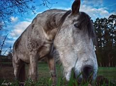 Caballo en Valga. Pontevedra. (estebancr76) Tags: caballo animal cielo hierba