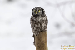 "Northern Hawk Owl (9694) (Anthony ""Tony G"" Gliozzo (Web Site is ocbirds.com)) Tags: 14extender 500mm anthonygliozzo britishcolumbia canada canon5dmarkiii northernhawkowl surniaalula ocbirdscom"