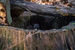 Kleine Maus (KaAuenwasser) Tags: maus holz tier stamm wald säugetier nager nagetier
