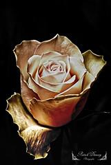 Rose ( photopade (Nikonist)) Tags: rose fleur couleurs apple affinityphoto nikon viewnx13m nikond80 nikon55200mmf456