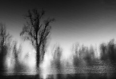 Cottonwoods and Pines (massimosvestito) Tags: trees landscape abstract bnw blackandwhite bw blackwhite monochrome oregon surreality surreal massimosvestito massimo svestito fineart art