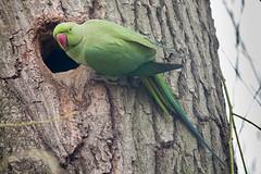 Parakeet (Conan500) Tags: bushy park london wildlife animals creatures nature fog foggy morning