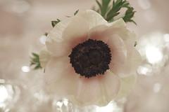 Anemone (redroseGarden) Tags: anemone weis blume flower white blüte