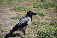 Bonte kraai (Corvus cornix) (Frank Berbers) Tags: aves vogel vögel bird oiseaux nikond5600 rome rom bontekraai zangvogel corvidae hoodedcrow kraai crow corvuscornix corneillemantelée