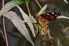 Painted Lady butterfly (Rodger1943) Tags: paintedlady butterflies australianbutterflies sonyrx10m4