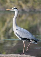 Héron du matin (Pti Scarabée) Tags: oiseau héron animal bird vögel reiher iledefrance