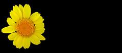 FLOR GROGA (Joan Biarnés) Tags: santgregori gironés catalunya flor macro panasonicfz1000