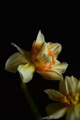 Narcyz (kasiaczn) Tags: garden flower narcyz czarne tło makro wiosna zdjecie obraz ciemne żółty delikatny roślina przyroda natura nikon widok zbliżenie kompozycj naturalny żywy flora czarny styl nowoczesny zimny płatki kwitnący pora roku z przodu