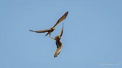 Northern Harriers (Bob Gunderson) Tags: baylands birds birdsofprey california circuscyaneus harrierandvultures northerncalifornia northernharrier santaclaracounty southbay