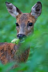 Rehportrait / Roe deer portrait (uwe125) Tags: tierwelt buchenwald reh portrait äsen tierportrait animal fellwechsel springe wisentgehege deer roe