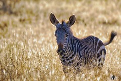 Young Mountain Zebra (SuzieAndJim) Tags: suzieandjim naturephotography nature africa southafrica nationalpark zebra mountain mountainzebra