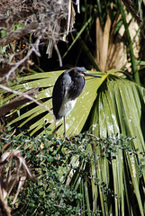 Midnight Heron (Fido Cat) Tags: nature frippisland southcarolina birds storks woodstork herons greenheron midnightheron egret