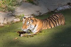 Tiger (Cloudtail the Snow Leopard) Tags: tiger tier animal mammal säugetier cat katze feline gros raub big panthera tigris tierpark berlin