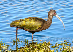 San Joaquin 12.29.18 4 (Marcie Gonzalez) Tags: green iridescent marsh united states california irvine san joaquin wildlife sanctuary nature free wild socal so cal usa north america orange county city preserve marcie gonzalez marciegonzalez marciegonzalezphotography photography canon whitefaced ibis sanjoaquinwildlifesanctuary sanjoaquin bird birds animal animals fly wing wings water large
