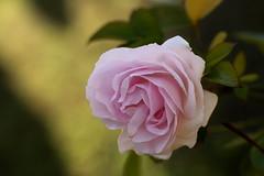 passionflower (aleporcu91) Tags: flower fiori nature details