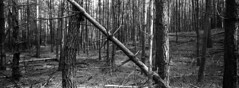 \ (selyfriday) Tags: selyfriday wwwnassiocomempty nassiocom hasselblad xpan panorama wide 35mm film analogue 45mmf4 2711 kodaktmax400 kodak tmax400 expired rodinal 125 20˙c woods nederland netherlands holland dutch trees forest bergenopzoom