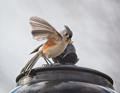 Tufted Titmouse with a snack (Goggla) Tags: centralpark titmouse nyc new york manhattan central park urban wildlife bird tufted cute explore