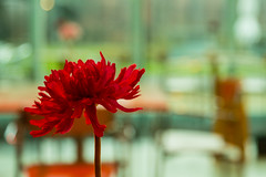 Red (teltone) Tags: flower cafe merseyside blur focus canon 5d colour decor coffee