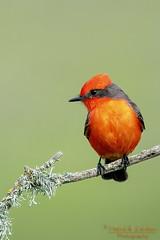 Vermi III (Patrick Dirlam) Tags: birds landbirds vermillion flycatcher